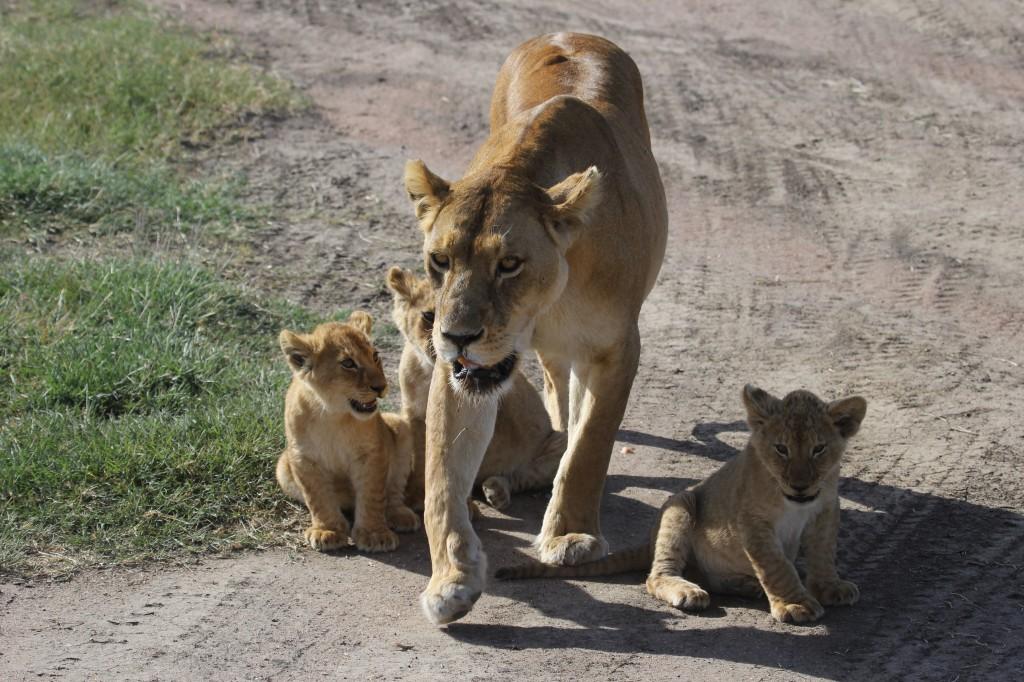 Sharon Lizerbram Lion cubs
