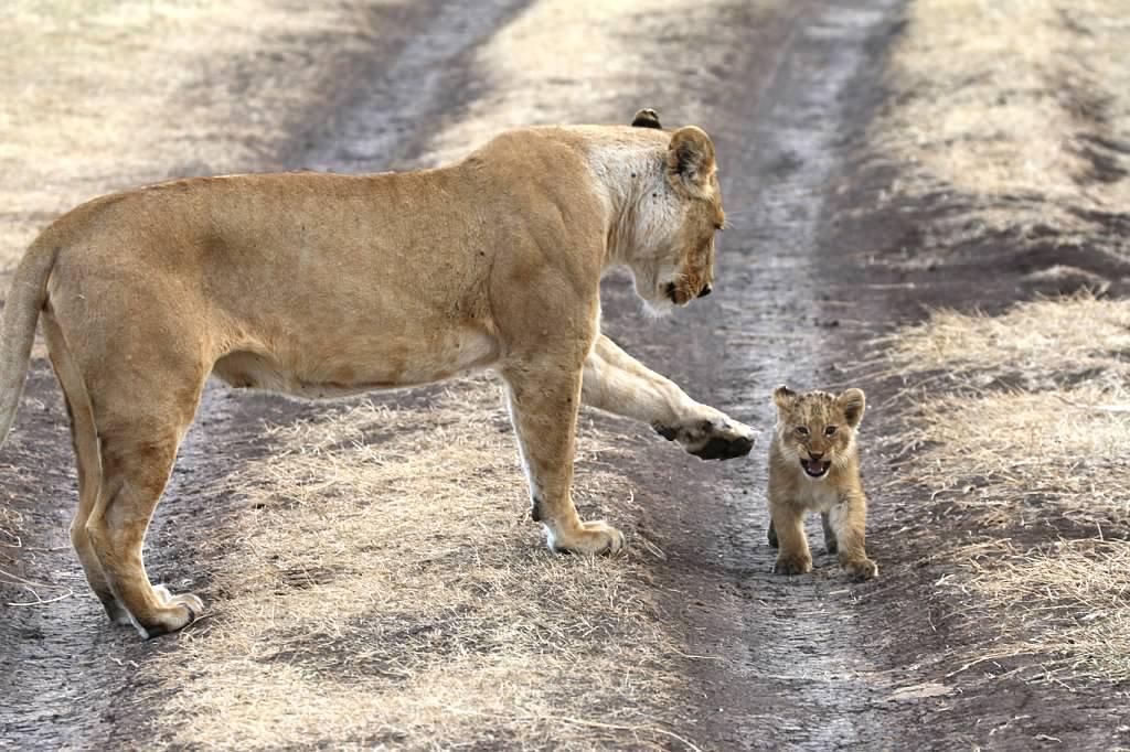 lionness & cub