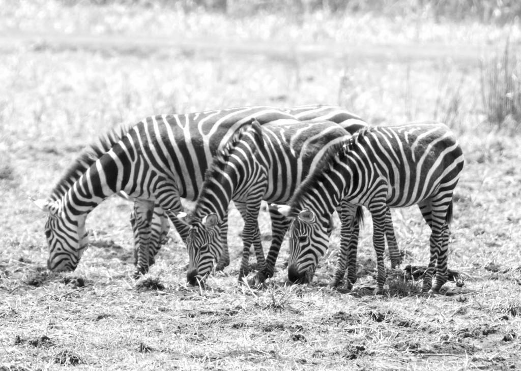 Zebras - Tania with Safari Infinity