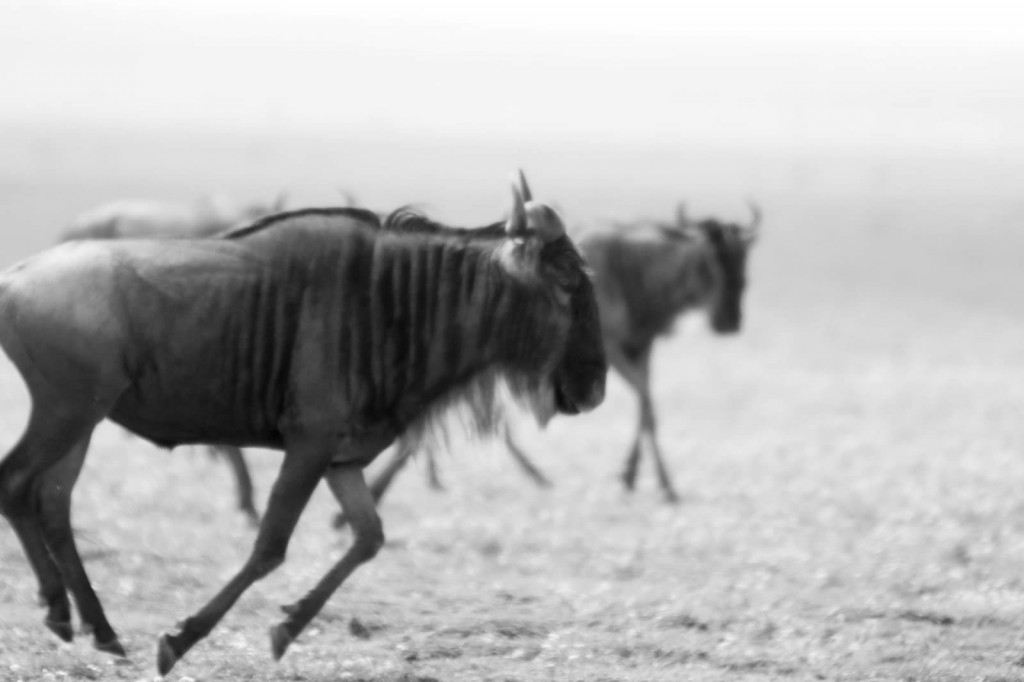 Wildebeests in action - Tania with Safari Infinity
