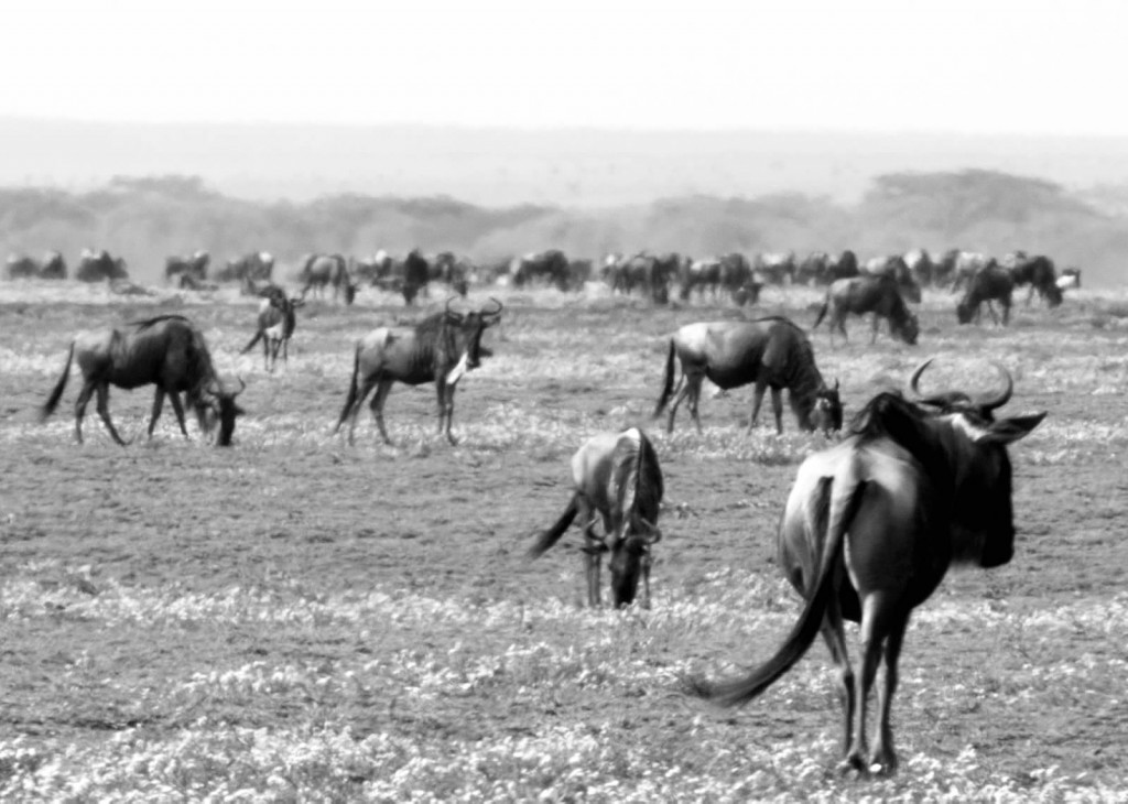Wildebeests - Tania with Safari Infinity