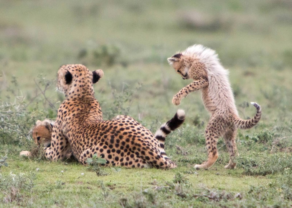 Playful Cheetah Cub - Tania with Safari Infinity