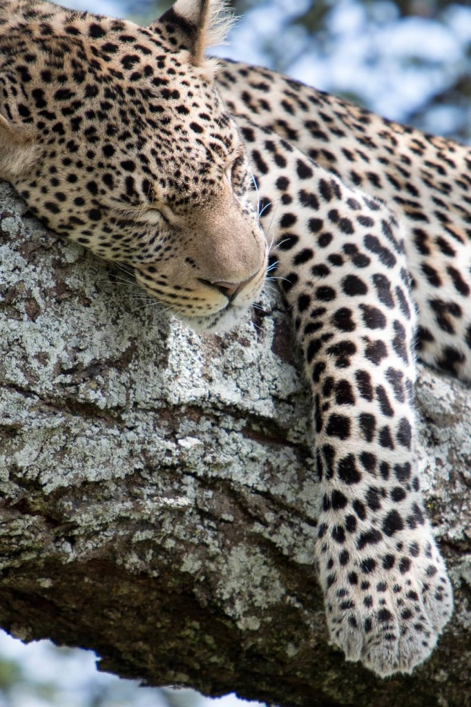 Sleeping Leopard - Tania with Safari Infinity