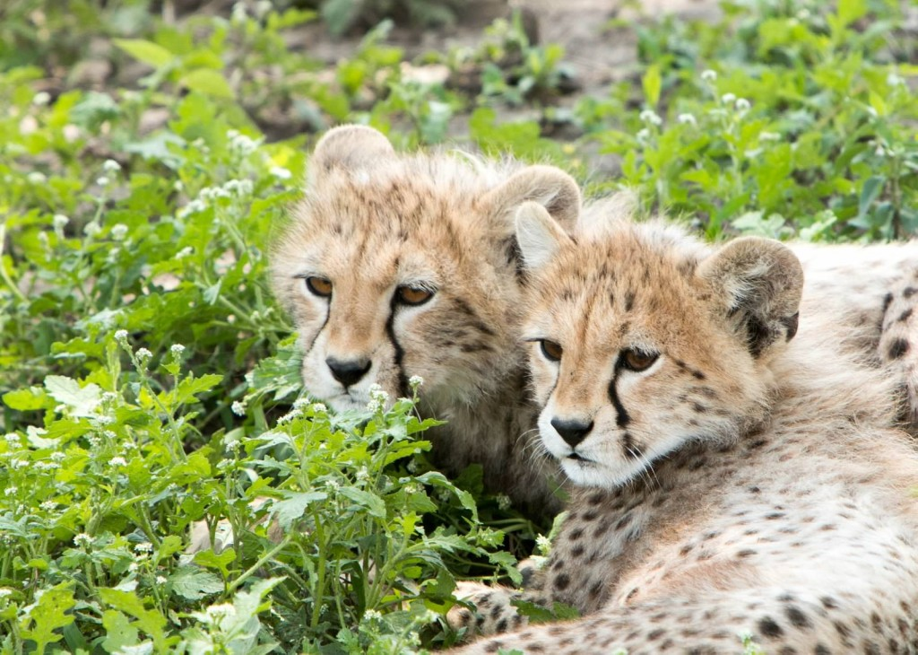 Cheetah Cubs - Tania with Safari Infinity