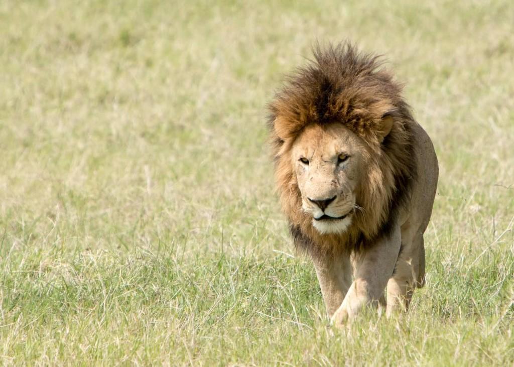 Lion - Tania with Safari Infinity