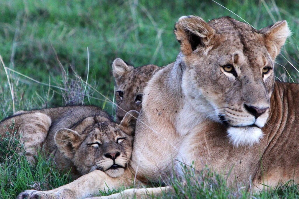 Lioness and her cub - Tania with Safari Infinity