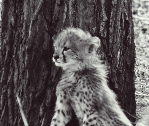 cheetah cub one